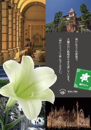 神戸産の新鉄砲ユリ「神戸リリィ」の2017年出荷スタート日程が変更となりました